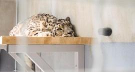 Pantery śnieżne ponownie w warszawskim zoo