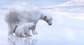 Niedźwiedzie polarne przy Wileńskim