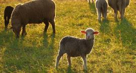 Owce nad Wisłą. Wielki wypas